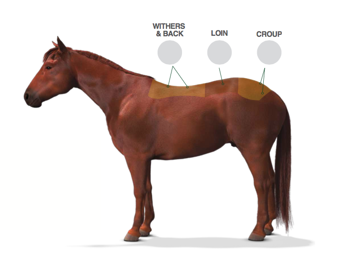 Equine Topline: Nutrition at the Core   Topline Balance from Nutrena